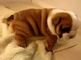 Cute Baby Bulldog Trying To Walk