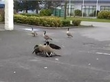 Goose Fight With Suprise Ending