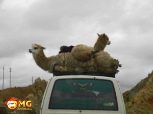 llhama-on-roof-camel