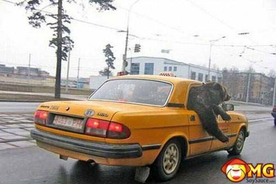 bear-in-taxi