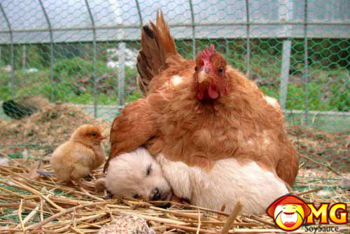 chicken-on-puppy