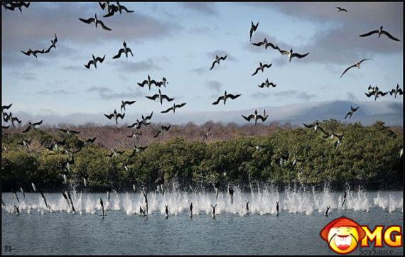 diving-birds
