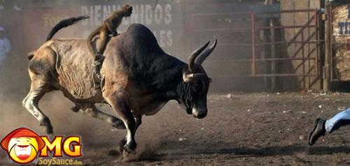 monkey-bull-rider