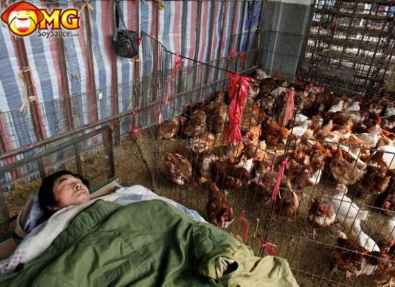 asian-sleeping-in-chicken-house