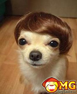 cute-chihuahua-dog-with-wig