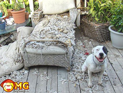 dog-chews-up-couch-sofa-funny