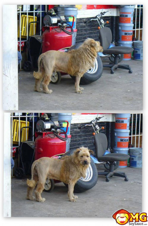 dog-lion-haircut