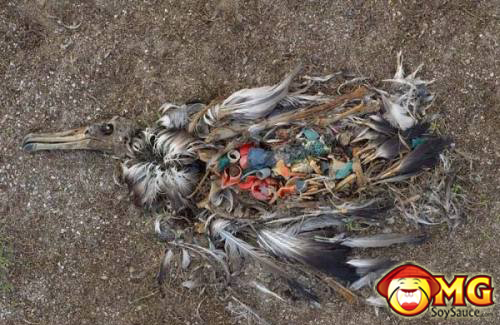 bird-dies-with-trash-in-stomach-1