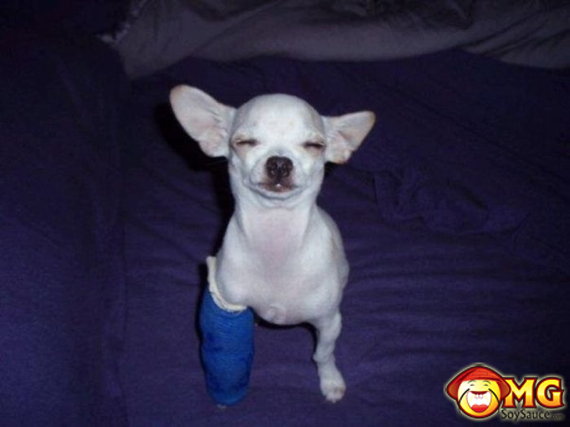 chihuahua-with-a-cast