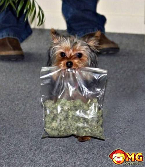 yorkie-with-bud